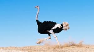 Ostrich - Word of God